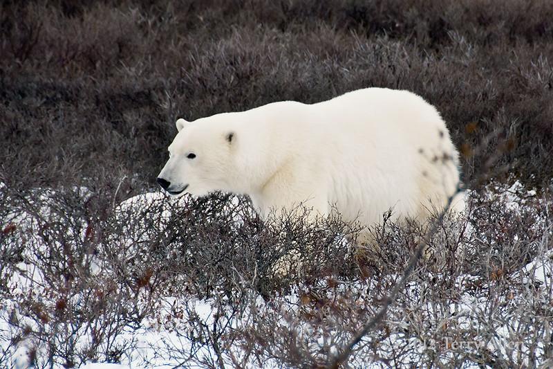 Polar bear-in-willows-6