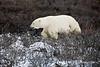 Polar bear-in-willows-5