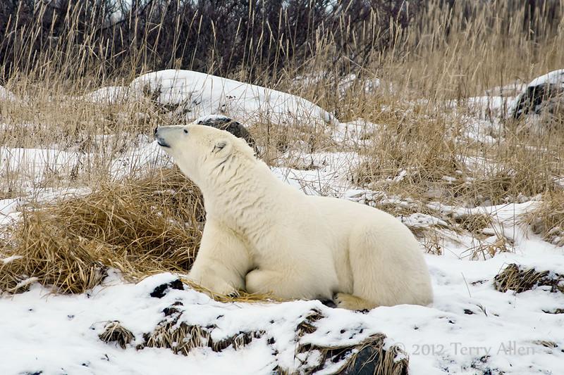 Polar bear-in-reed-grass-7