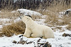 Polar bear-in-reed-grass-7