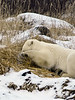 Polar bear-in-reed-grass-19
