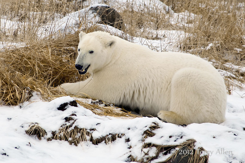 Polar bear-in-reed-grass-14