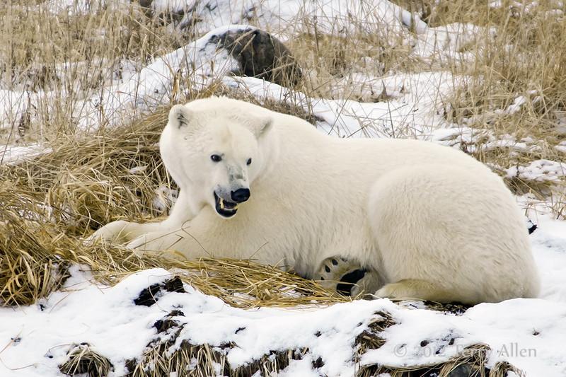 Polar bear-in-reed-grass-27