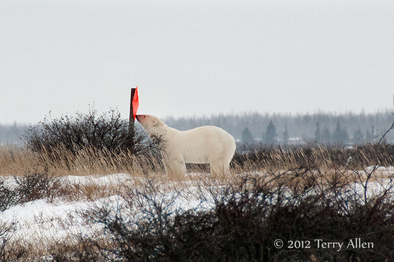 Polar bear-makes-environmental-statement-2