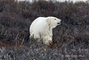 Polar bear-in-willows-4