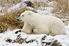 Polar bear-in-reed-grass-6