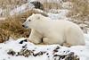 Polar bear-in-reed-grass-6