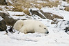 Polar bear-on-foreshore-4