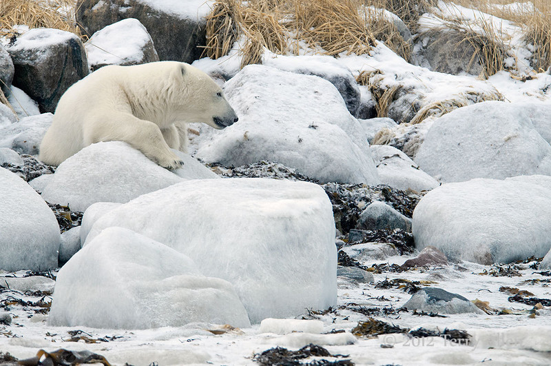 Polar bear-resting-on-shore-of-Hudson's-Bay-11