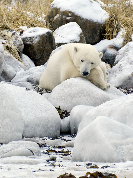 Polar bear-resting-on-shore-of-Hudson's-Bay-5