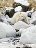 Polar bear-resting-on-shore-of-Hudson's-Bay-5