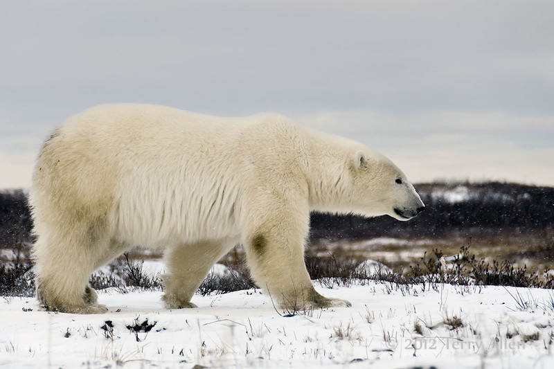 Polar bear-on-the-move-6