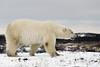 Polar bear-on-the-move-6