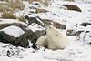Polar bear-on-foreshore-12