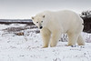 Curious-polar-bear-11-driven-off-with-a-rock