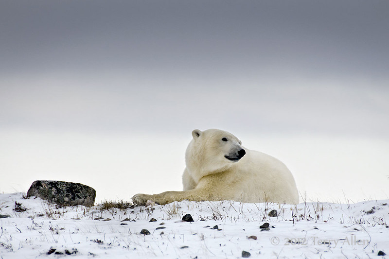 Resting-polar-bear-stormy-day-3