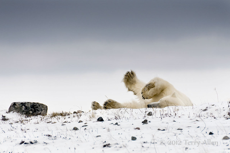 Resting-polar-bear-stormy-day-6