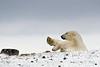 Resting-polar-bear-stormy-day-11
