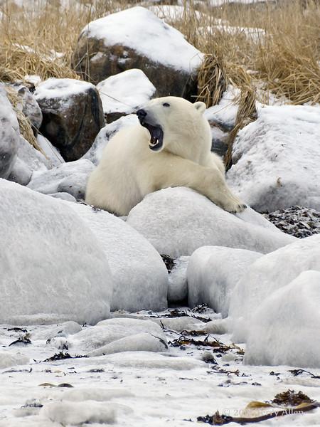Polar bear-resting-on-shore-of-Hudson's-Bay-4