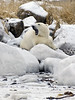 Polar bear-resting-on-shore-of-Hudson's-Bay-4