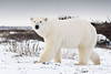 Curious-polar-bear-10