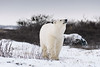 Curious-polar-bear-3