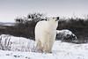Curious-polar-bear-3