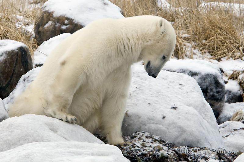 Polar bear-resting-on-shore-of-Hudson's-Bay-14