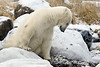 Polar bear-resting-on-shore-of-Hudson's-Bay-14