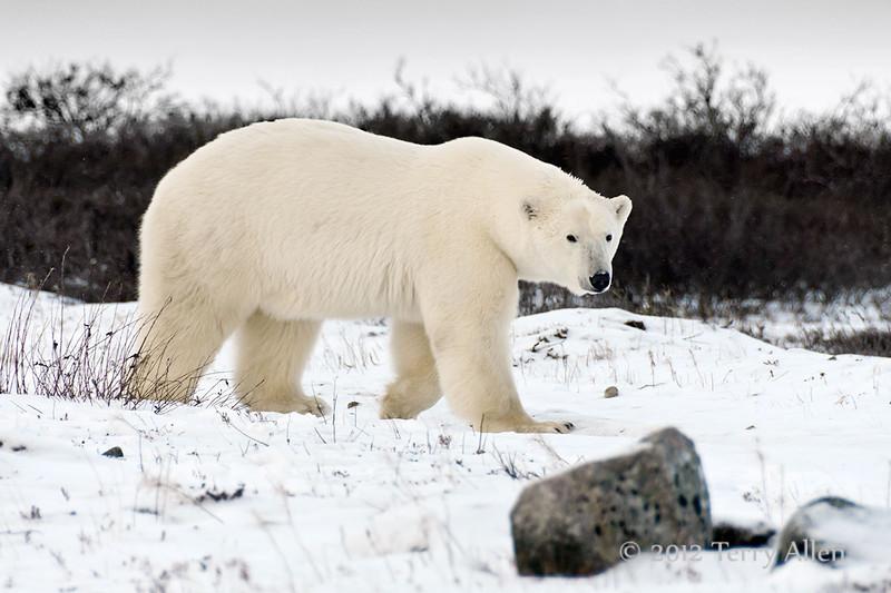 Curious-polar-bear-13