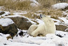 Polar bear-on-foreshore-3
