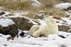 Polar bear-on-foreshore-3
