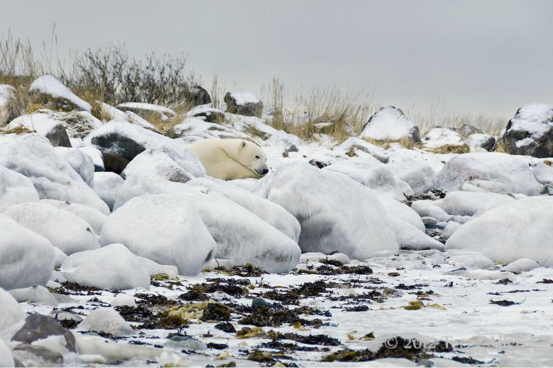 Polar bear-resting-on-shore-of-Hudson's-Bay-2