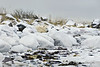 Polar bear-resting-on-shore-of-Hudson's-Bay-2