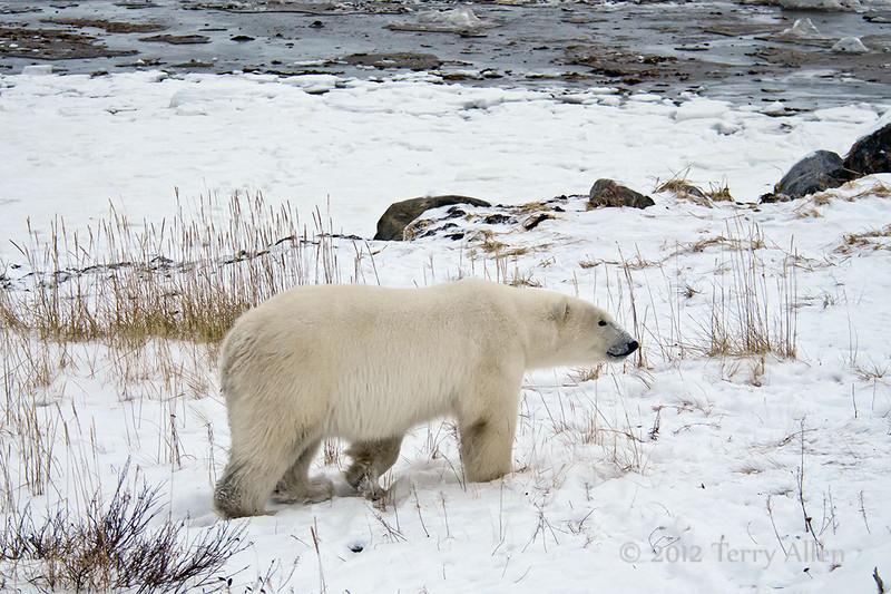 Polar bear-near-lodge-4