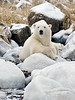 Polar bear-resting-on-shore-of-Hudson's-Bay-7