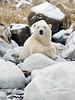 Polar bear-resting-on-shore-of-Hudson's-Bay-7