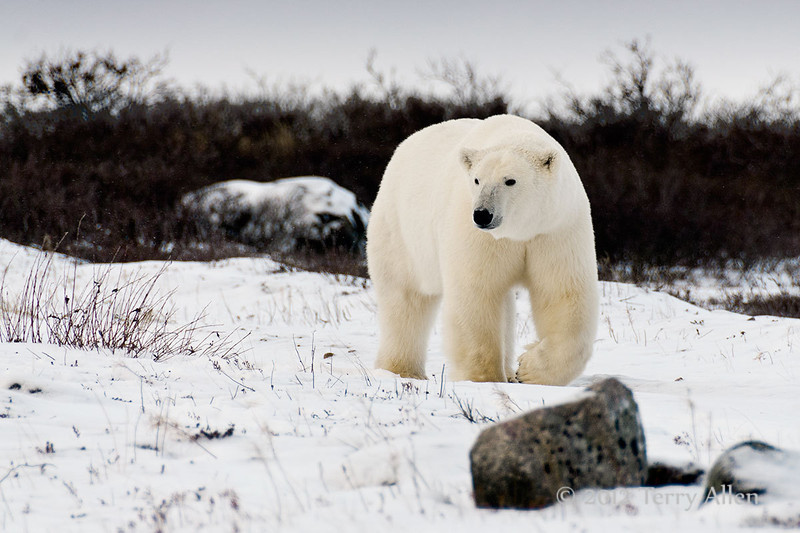 Curious-polar-bear-4