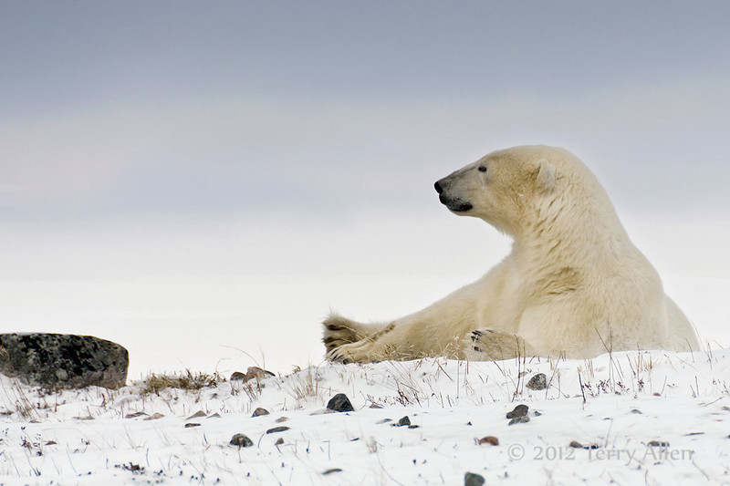 Resting-polar-bear-stormy-day-9