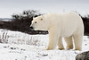 Curious-polar-bear-7