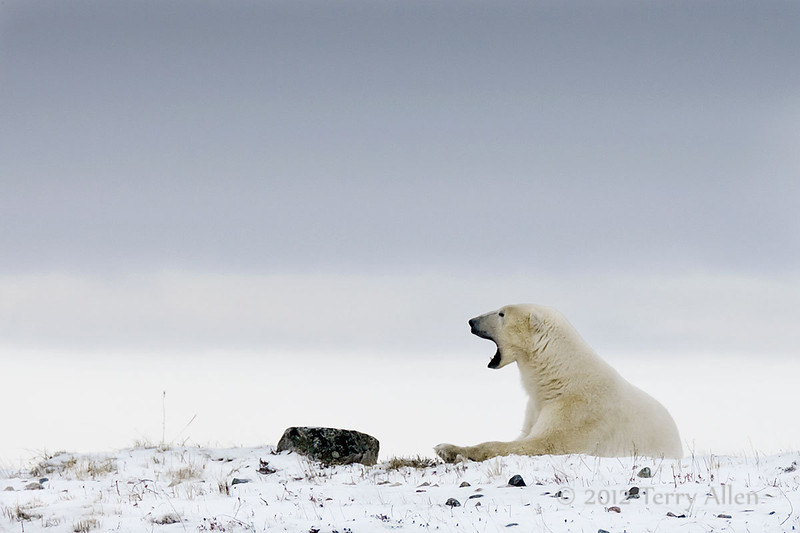 Resting-polar-bear-stormy-day-5
