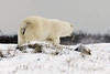 Polar bear-on-the-move-5