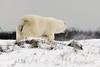 Polar bear-on-the-move-5