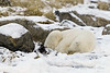 Polar bear-on-foreshore-5