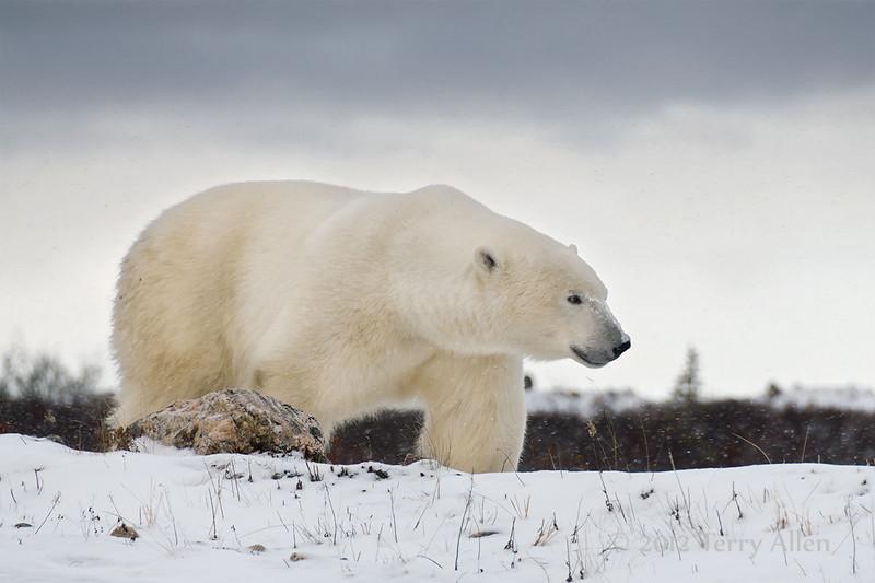 Polar bear-on-the-move-4