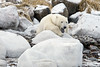 Polar bear-resting-on-shore-of-Hudson's-Bay-12