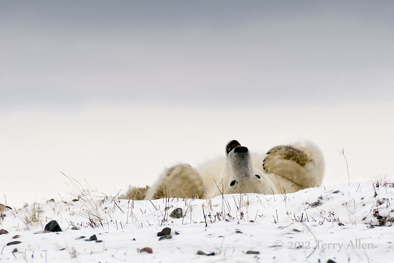 Resting-polar-bear-stormy-day-7