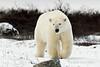 Curious-polar-bear-6