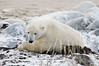 Polar-bear-waiting-for-freeze-up-4