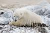 Polar-bear-waiting-for-freeze-up-4